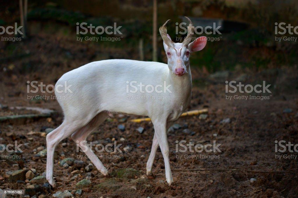 Image of an albino barking deer on nature background. Wild animals. – zdjęcie