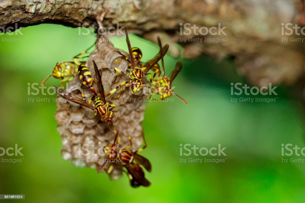 Image of an Apache Wasp (Polistes apachus) and wasp nest on nature background. Insect. Animal stock photo
