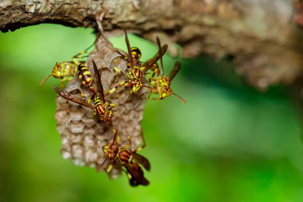 bild eines apache wasp (polistes apachus) und wespennest auf natur hintergrund. insekt. tier - eierstich stock-fotos und bilder