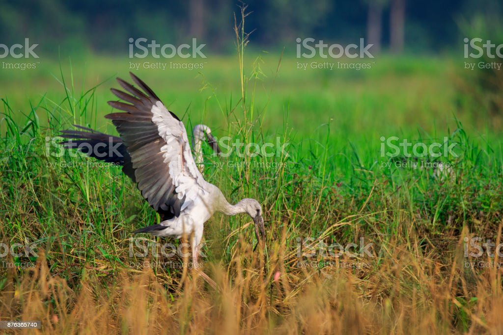 Image of an Asian openbill stork(Anastomus oscitans) flying on the natural background. Bird, Wild Animals. stock photo