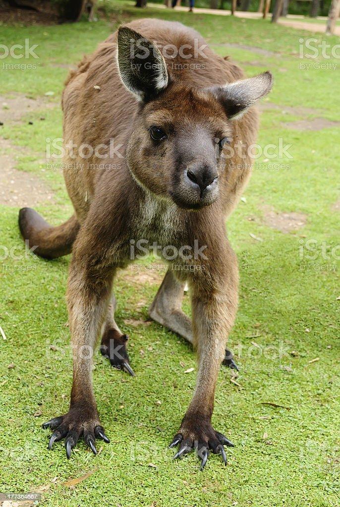 Image of an Australian kangaroo royalty-free stock photo
