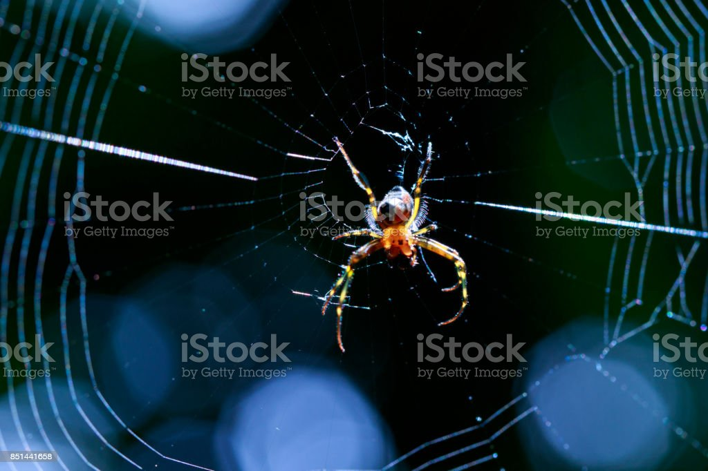 Image of an opadometa fastigata spiders(Pear-Shaped Leucauge) on the spider web. Insect. Animal stock photo