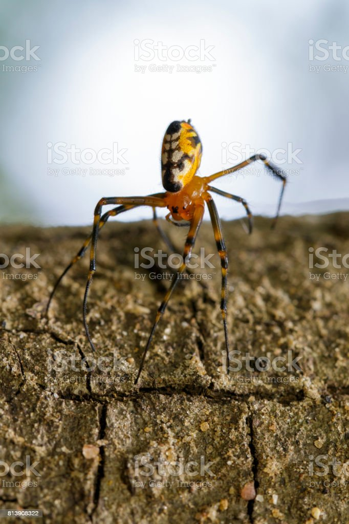Image of an opadometa fastigata spiders on the timber. Insect Animal.