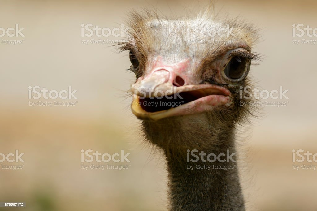 Image of an ostrich bird head on nature background. Farm Animals....