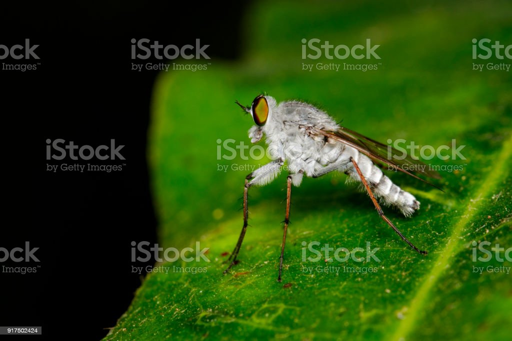 Image of an robber fly(Asilidae) on green leaves on the natural background. Insect. Animal. stock photo