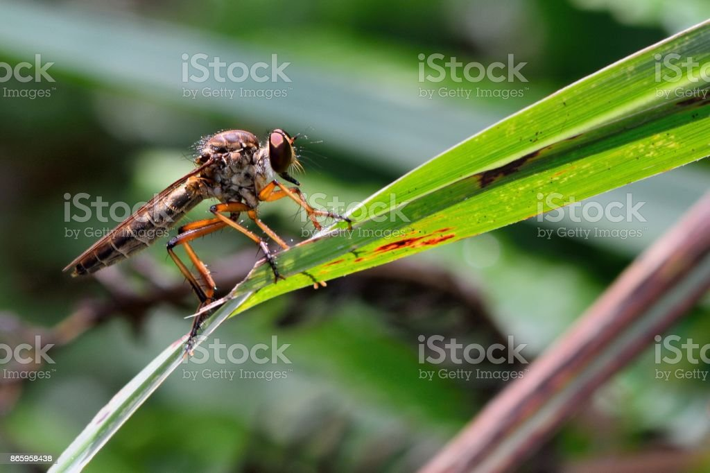 Image of an robber fly stock photo