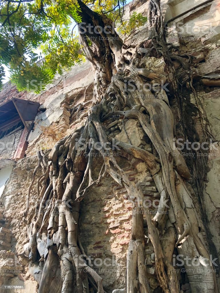Stock photo of ancient drying Indian fig ficus tree with long aerial...