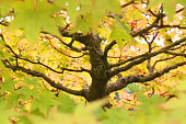 Stock photo of ancient mature old Japanese maple bonsai tree trunk growing in informal upright style with green summer leaves turning red for autumn fall colours, acers / acer palmatum bonsai tree branch structure, twigs, pruning, care and wiring for stylish
