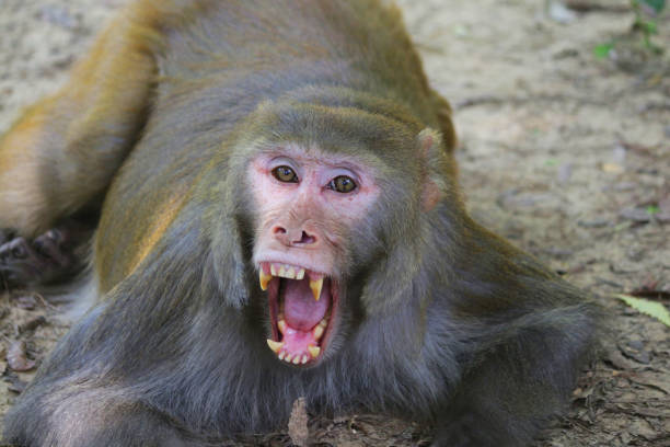 Image of angry male macaque (Macaca mulatta) monkey, crouching low on wall showing vicious teeth and fangs, ready to fight, India stock photo