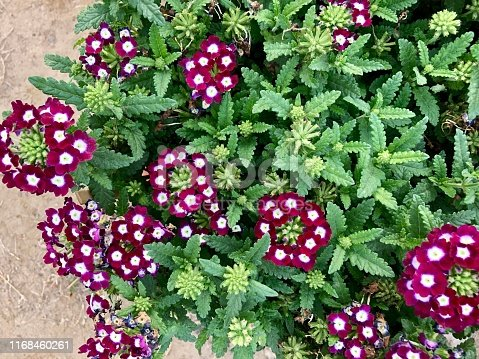 Stock photo showing a close-up of annual Verbena hortensis growing in an ornamental garden flower border.