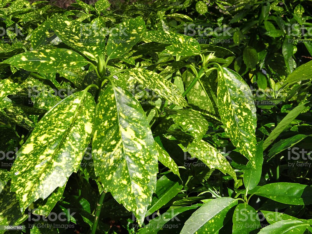 Image of Aucuba Japonica garden-shrub, spotted variegated evergreen leaves, green-yellow stock photo