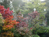 Stock image of a misty morning on an autumn day with spider's webs hanging on Japanese acers with red, orange and purple Fall colours.