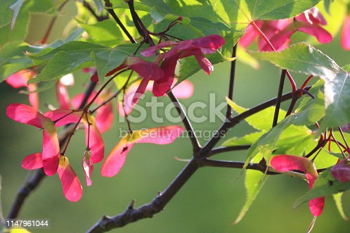 Stock garden photo of maple seeds growing underneath the green leaves of acer palmatum osakazuki Japanese maple tree, famous for its autumn fall colours and similar to Norway maple.