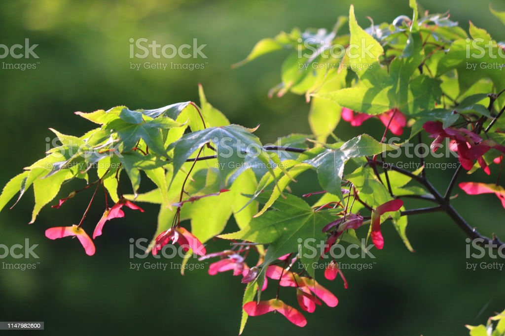 Image Of Autumnal Red Maple Seeds Under Leaves Of Acer Palmatum
