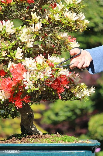 Photo showing a stunning azalea bonsai tree, covered with so many red and white flowers that the branch structure is somewhat obscured.  The tree is being pruned to shape, with dead flowers being cut off with scissors.