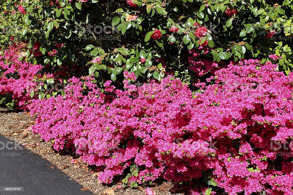 Image of azaleas with shocking pink flowers by garden pathway stock image of azaleas with shocking pink flowers by garden pathway royalty free stock photo mightylinksfo