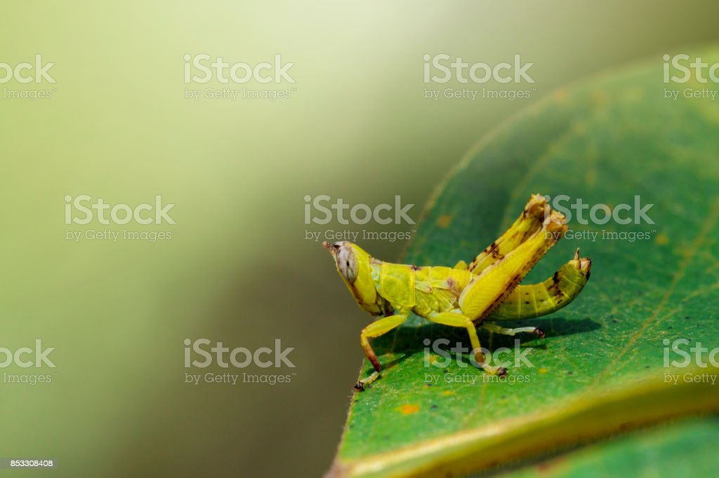Image of baby green monkey grasshopper on green leaves. Insect Animal stock photo