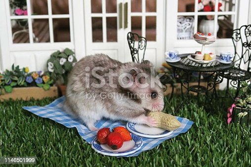 Stock photo of healthy young Syrian hamster house having picnic eating on lawn with green grass, Victorian wooden dolls house conservatory painted white, green metal garden table and chairs.