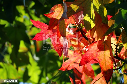 Stock photo of backlit yellow, orange, red autumn leaves in garden growing on deciduous liquidambar styraciflua American sweetgum storax tree, autumnal fiery fall colours contrasting against maple shaped lobed green leaves background in oriental Japanese garden