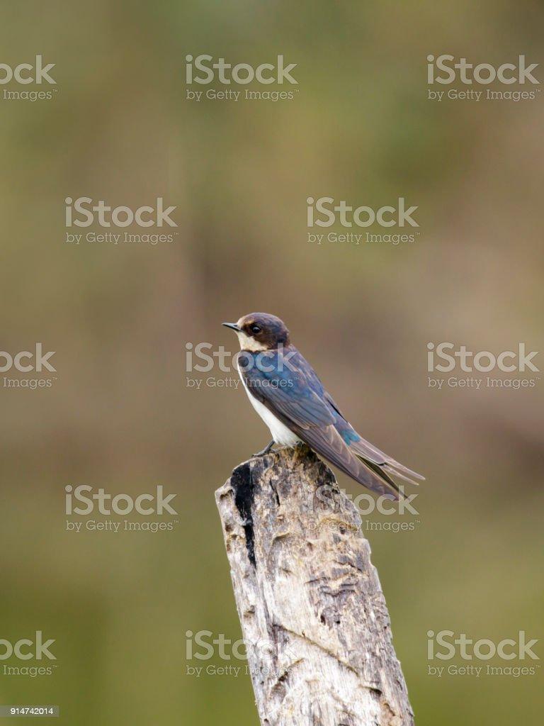 Image of Barn swallow bird (Hirundo rustica) on the stumps on the natural background. Bird. Animal. stock photo