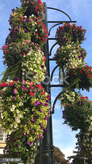 Stock photo of beautiful flowering hanging baskets as public display growing on post with brackets, trailing petunias in flowers, Lysimachia nummularia 'aurea' and busy lizzies / impatiens isolated against blue sky background, summer annual bedding plants pots