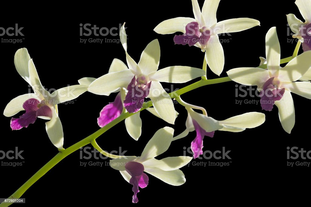Image Of Beautiful Orchid Flowers Isolated On Black Background stock photo