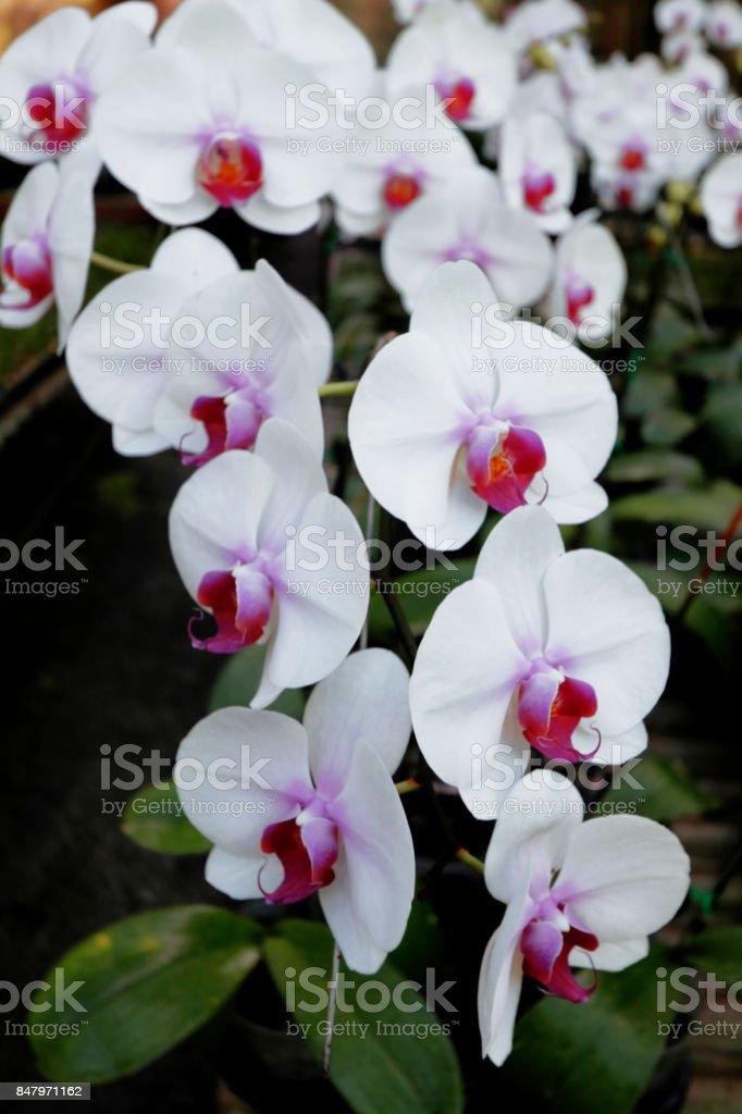 Image of beautiful white Phalaenopsis orchids. stock photo