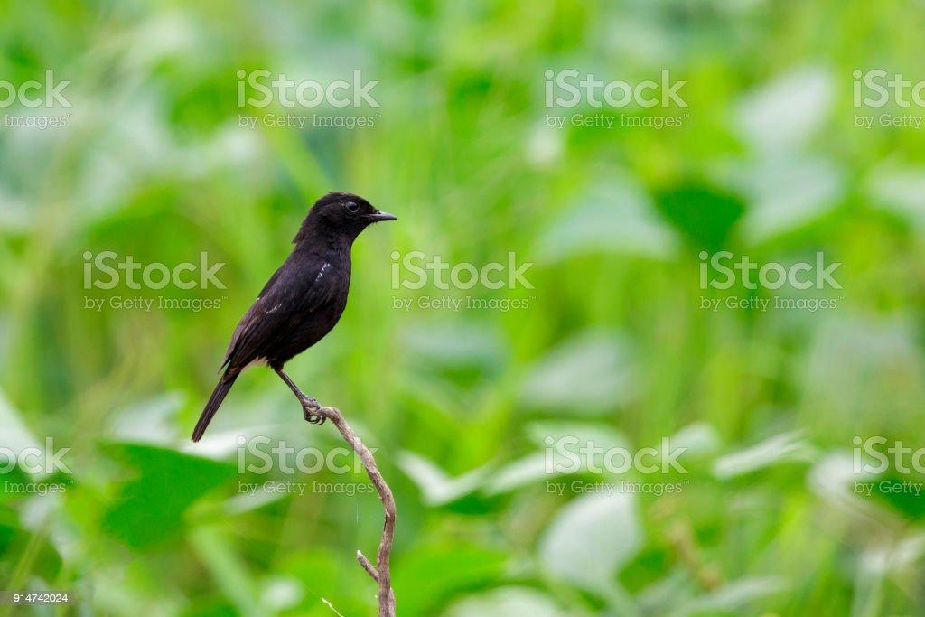 Imagen de pájaro negro sobre fondo de naturaleza. Bushchat Pied (Saxicola caprata). aves. Animal. - foto de stock