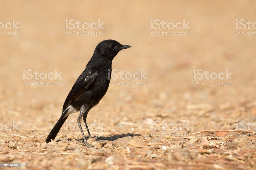 Image of bird black on nature background. Pied Bushchat ( Saxicola caprata ) foto stock royalty-free