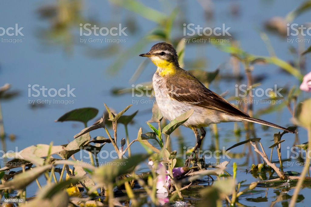 Image of Bird Eastern Yellow Wagtail (Motacilla tschutschensis)  Wild Animals. royalty-free stock photo