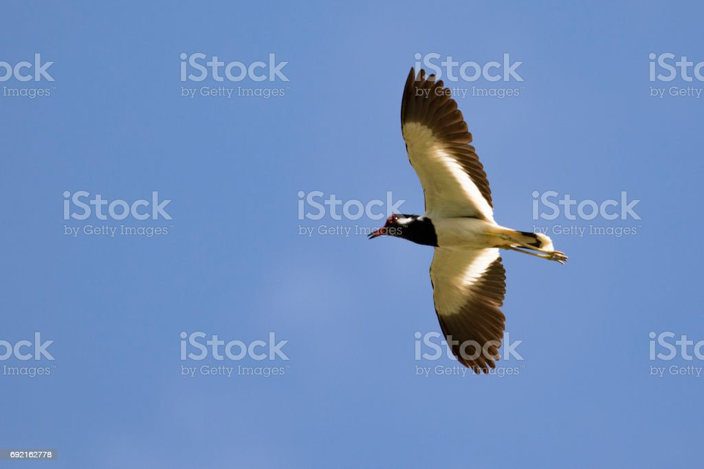 Image of bird flying in the sky. Wild Animals. Red-wattled lapwing...