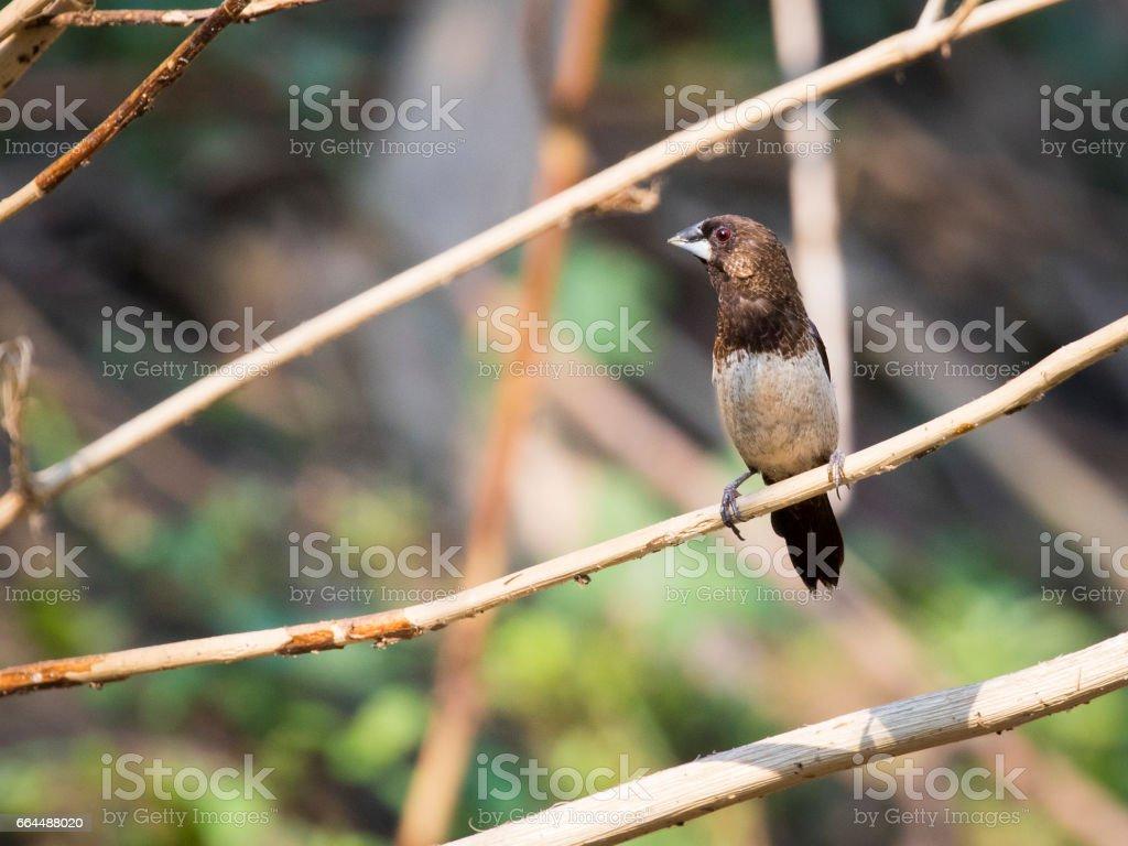 Image of bird on the branch on natural background. White-rumped Munia (Lonchura striata) stock photo