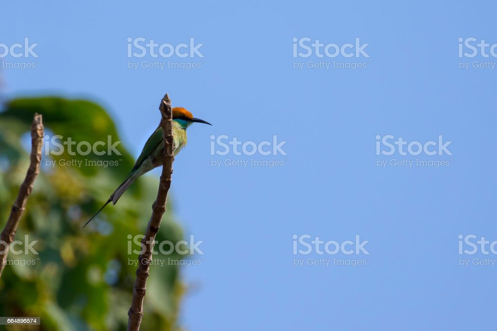 Image of bird (Green Bee-eater) on the branch on nature background. Wild Animals. foto stock royalty-free