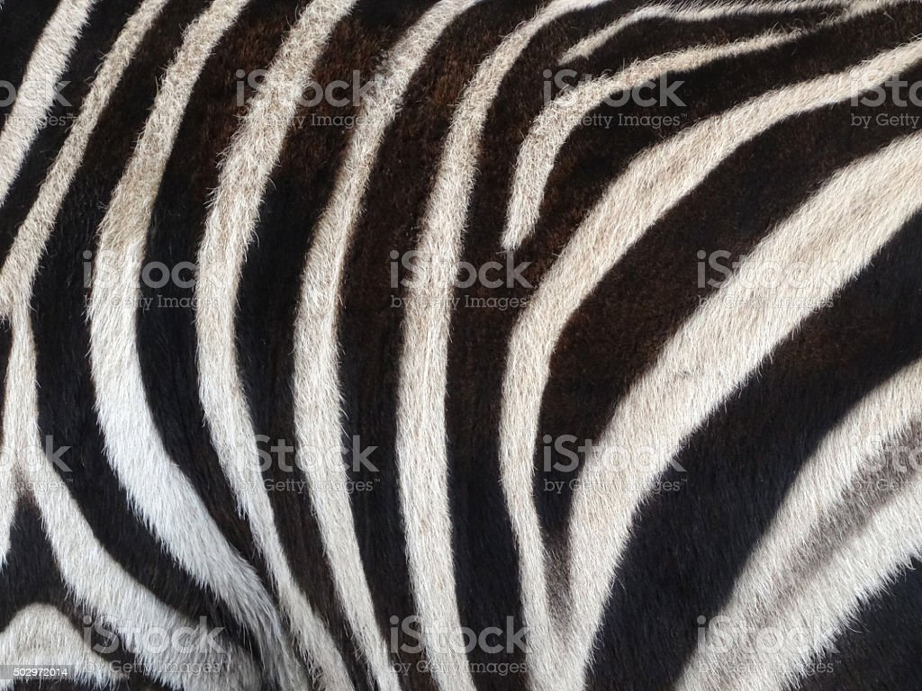 Image of black and white stripes on zebra skin (horse-family) stock photo