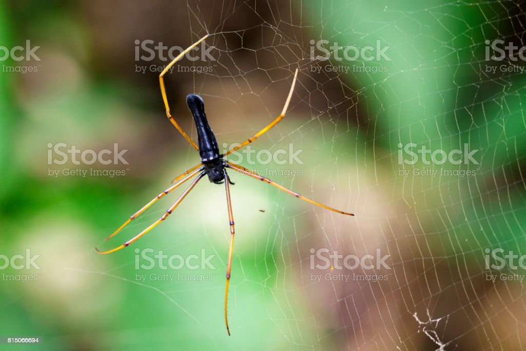 Image of Black Orb-weaver Spider on the spider web. Insect Animal