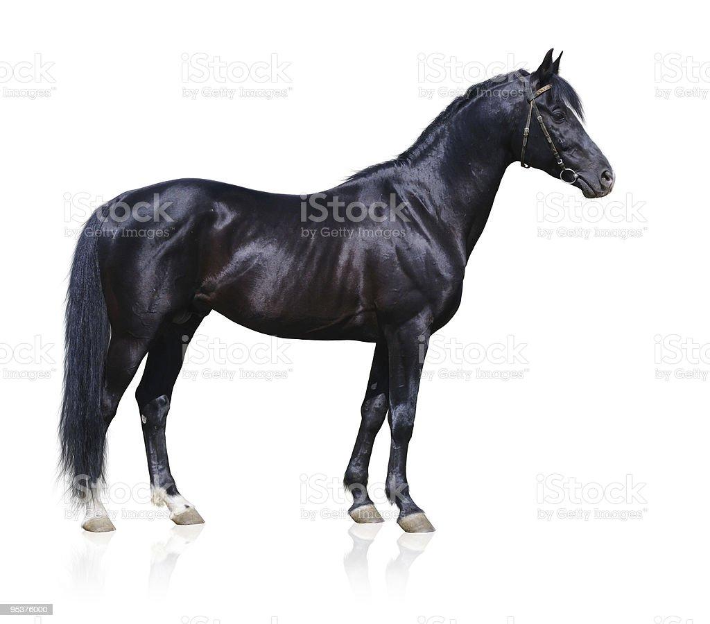 Image of black Trakehner stallion stock photo
