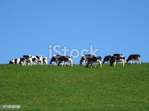 Photo showing a herd of black and white Holstein Friesian cows, a popular breed of dairy cattle farmed all over the world.  The cows are pictured grazing at the top of a green hill, being isolated against the blue sky.