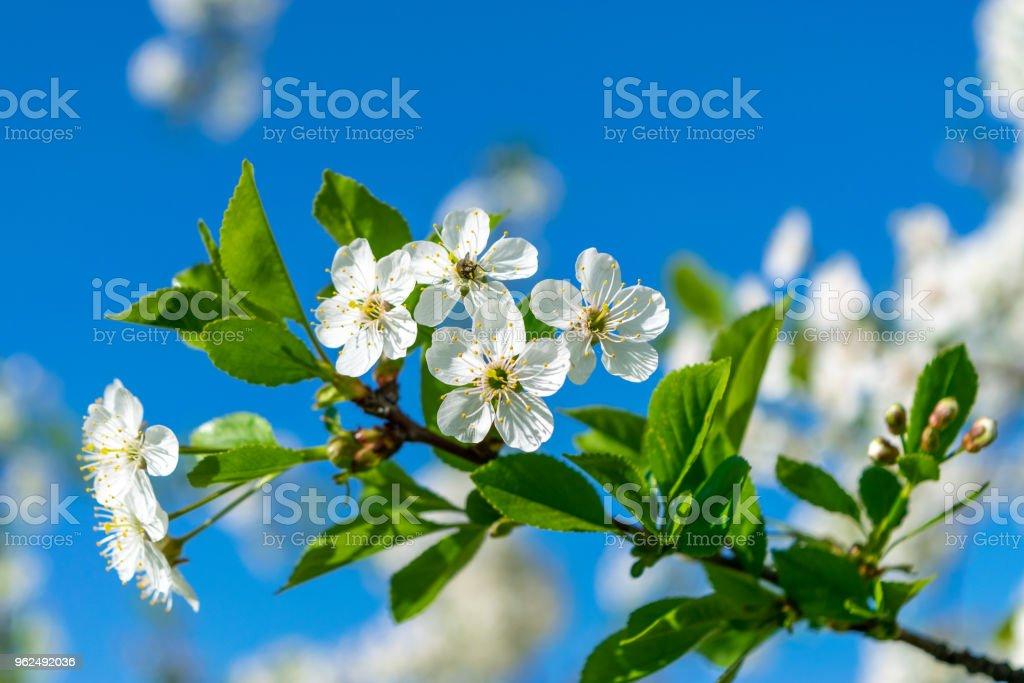 Image of Blooming apple tree - Royalty-free Apple Tree Stock Photo