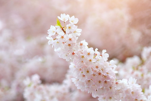 Image of blossom cherry flowers spring