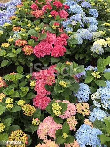 Stock photo of blue and pink flowering hydrangea flowers on bush shrub plants growing in sunny summer garden centre pots covered with large mophead flowers in alkaline and acid soil, flowering hydrangea sibilla with pretty blooms ready to be planted gardening