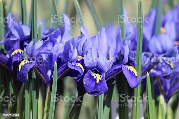 Image of blue iris flowers growing in spring garden border picture id508250300?b=1&k=6&m=508250300&s=612x612&h=tglve2azxw4yipmctov9momhvshfpobyy2ruszcthae=