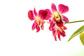 image of Blurred red purple orchids on white background