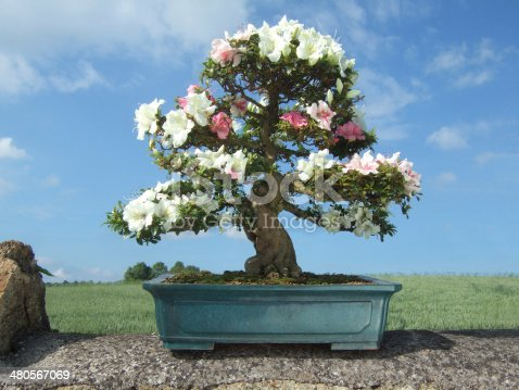 Bonsai Azalea Tree, Satsuki variety Kaho, (Rhododendron indicum) photographed on top of a stone wall with a field and blue sky with wispy clouds as background.