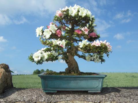 Image of Bonsai Azalea Tree, Satsuki variety Kaho, (Rhododendron indicum)
