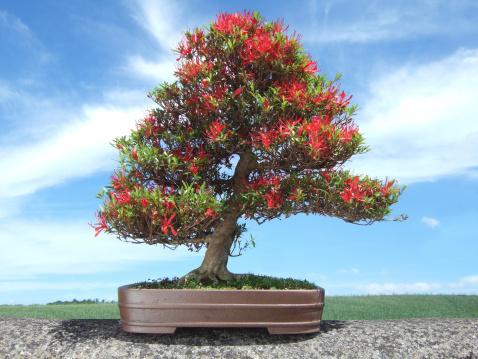Image of Bonsai Azalea Tree, Satsuki variety Kinsai, (Rhododendron indicum)