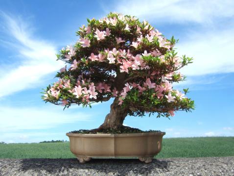 Image of Bonsai Azalea Tree, Satsuki variety Nikko, (Rhododendron indicum)