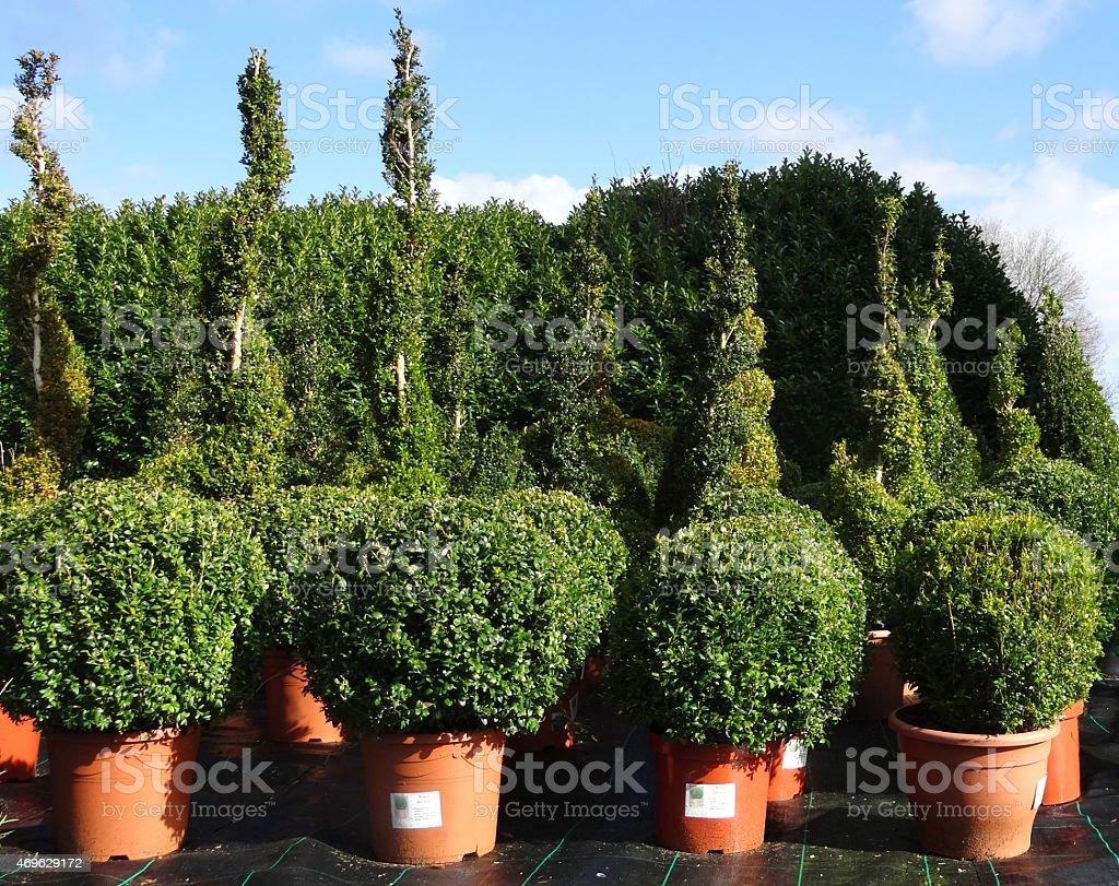 Image of box balls / buxus plants for-sale at garden-centre, flowerpots stock photo