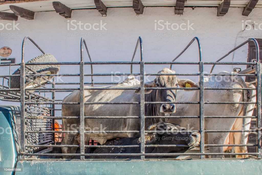 image of brahman cows locked in the back on a cargo van stock photo