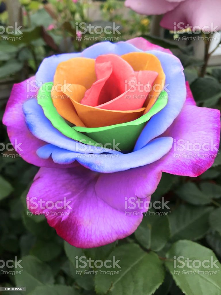 - Image Of Bright Rainbow Rose Flowers With Coloured Petals In