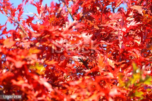 Stock photo of bright red autumn leaves of American oak tree / Northern red oak (quercus rubra) on branches glowing with orange fiery fall colours against blue sky and sunshine, autumnal wallpaper background of red leaves about to fall to forest floor from tree